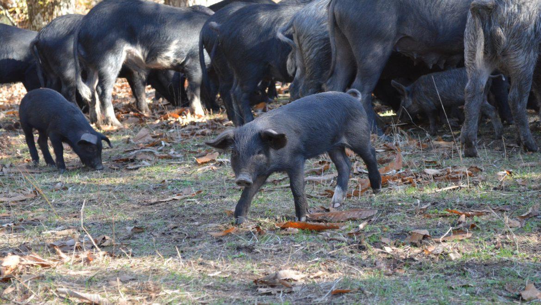 Le porc Nustrale